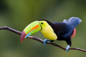 hermoso tucán en las selvas-de Colombia